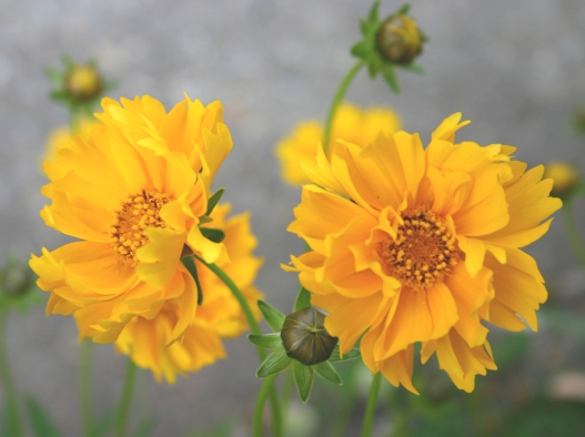 coreopsis2ss