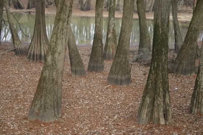 cypresses 22 6x4